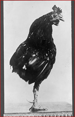 One-legged rooster, pet of Roosevelt children